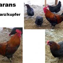 marans